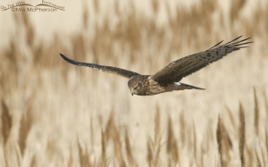 Northern Harrier hunting over the phrags