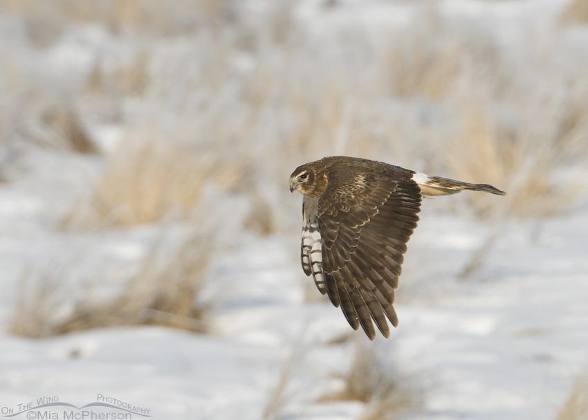 Harrier in flight over a snowy field