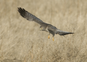 Northern Harrier searching for prey