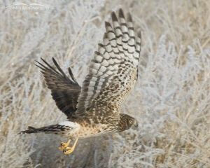 Northern Harrier in flight with frosty background