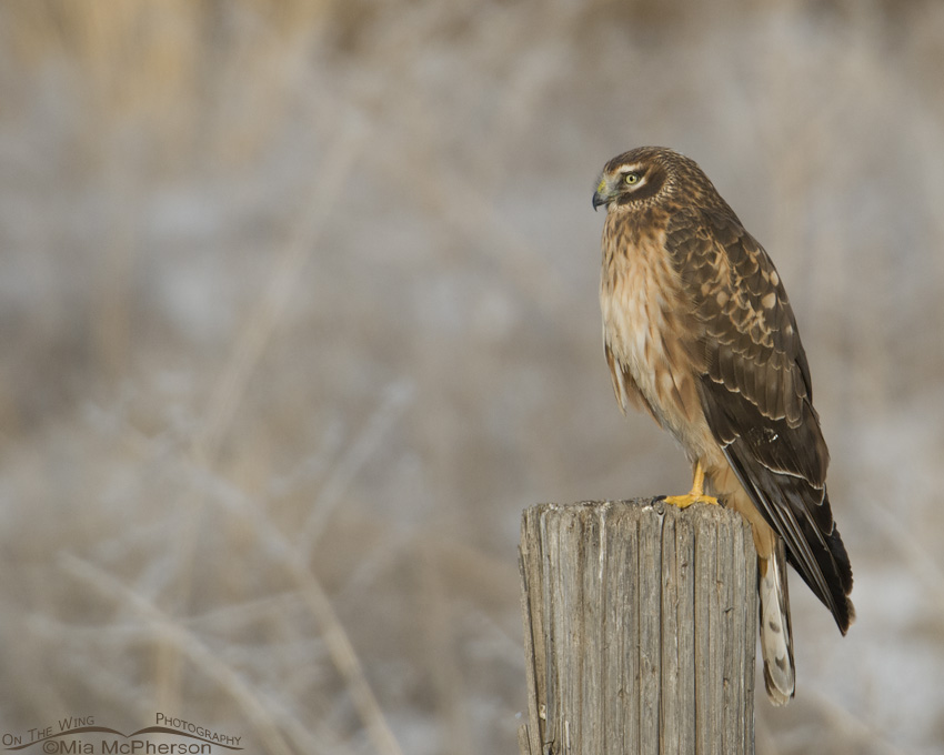 A juvenile Northern Harrier perched on a post