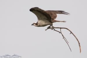 Osprey with nesting materials