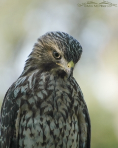 Juvenile Red-shouldered Hawk portrait