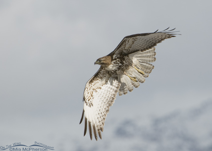 Red-tailed Hawk with snowy Wasatch Mountains in the background