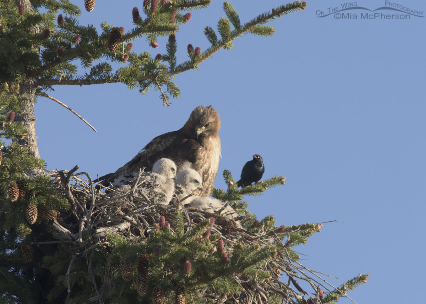 Red-tailed Hawk chicks and a Brewer's Blackbird