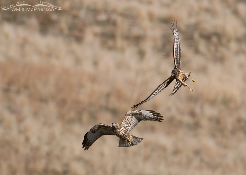 Northern Harrier chasing a juvenile Red-tailed Hawk