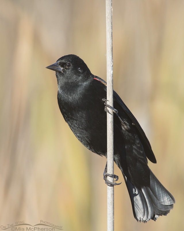 Autumn Red-winged Blackbird