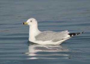 Floating Ring-billed Gull