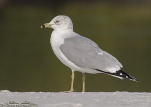Ring-billed Gull with mangroves in the background