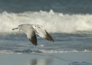 Ring-billed in flight over choppy waves