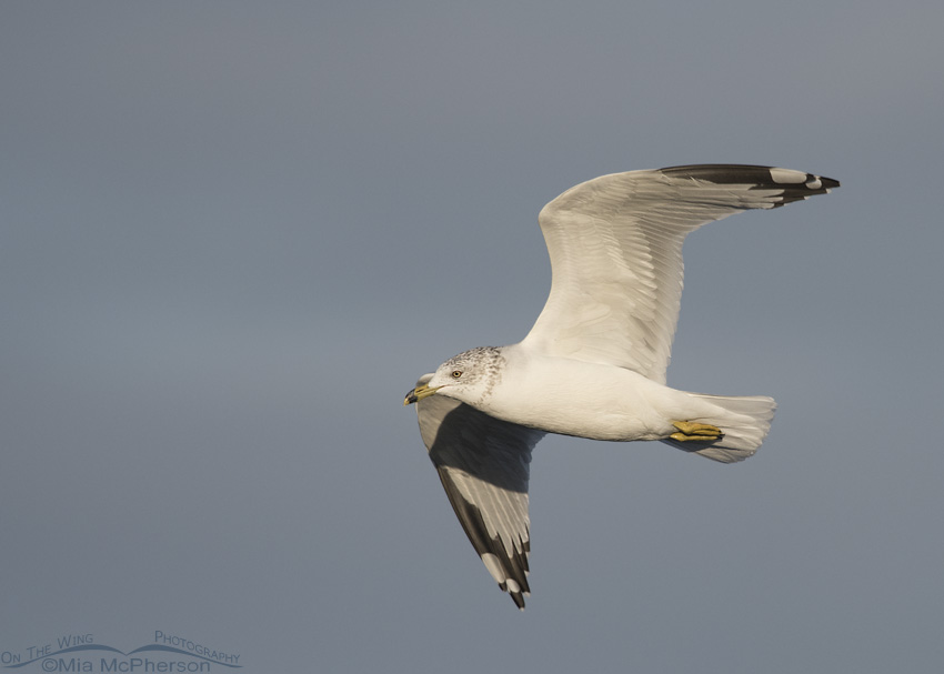 A Ring-billed Gull flying over Farmington Bay