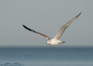 Ring-billed Gull in flight over the Gulf