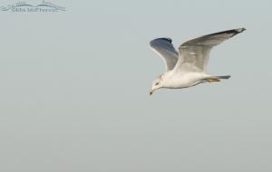 Ring-billed flight in early morning light