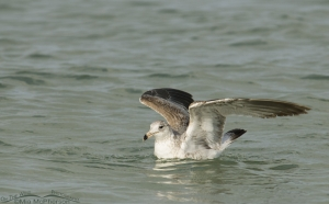 Young Ring-billed Gull