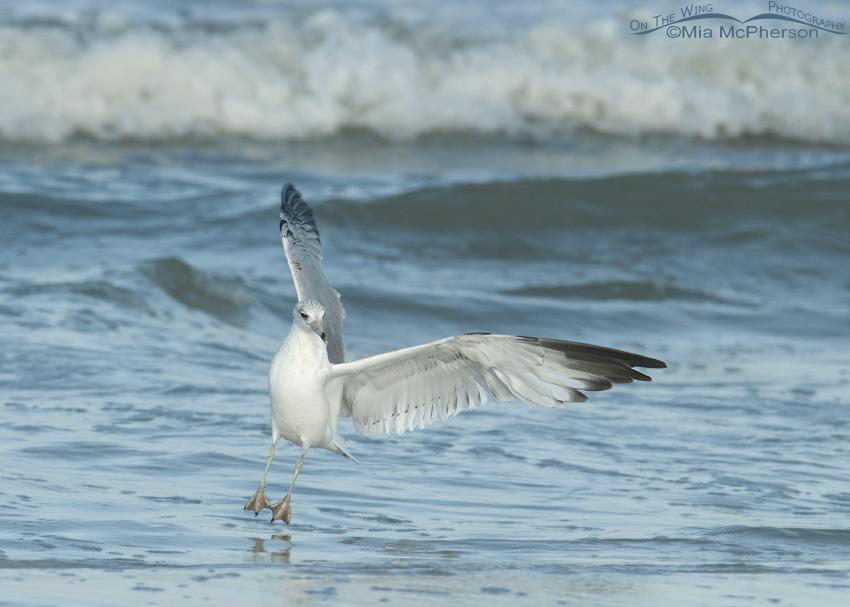The Ring-billed Gull Ballet
