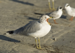 Big-mouthed Ring-billed Gull