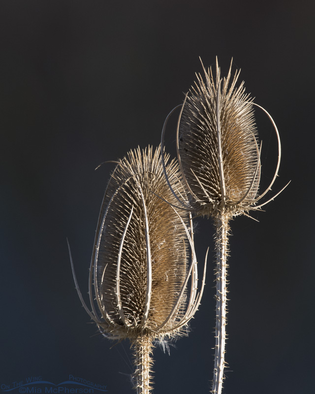 Dried Teasel with shadows in the background