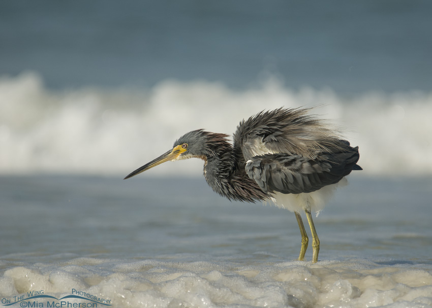 A Tricolored Heron fluffing up after fishing in the Gulf