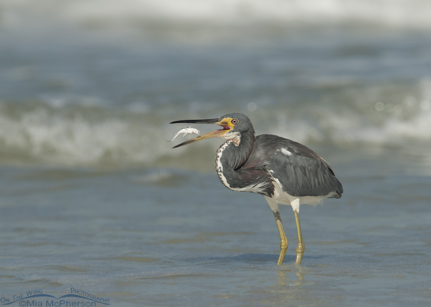 A Tricolored Heron with its prey in mid air