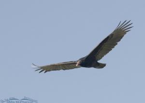 Turkey Vulture flight shot