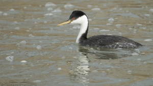 Western Grebe on bubbly water in low light
