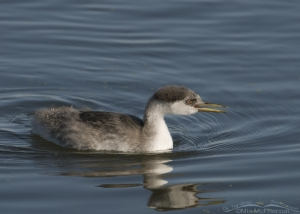 Western Grebe juvenile with open bill