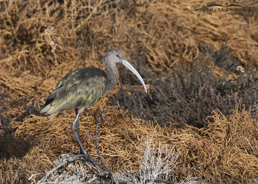 A White-faced Ibis and fall colors