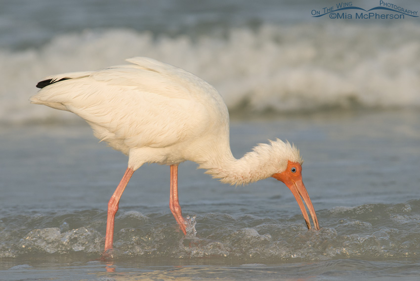A fluffed up adult White Ibis