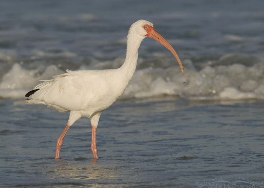 Alert White Ibis
