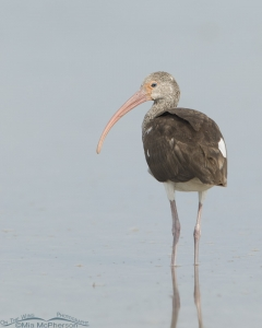 A juvenile White Ibis from behind