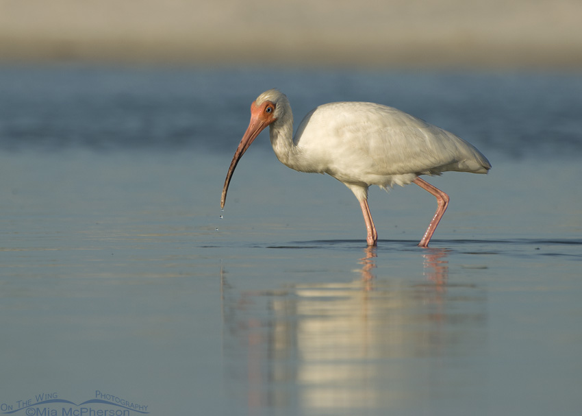 White Ibis in lagoon