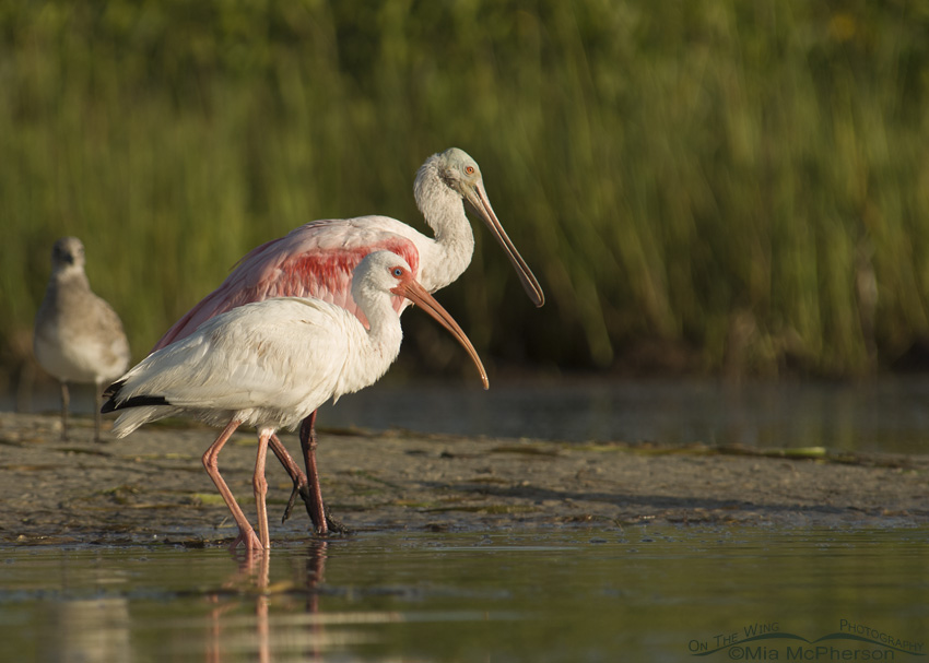 Roseate Spoonbill and White Ibis, side by side