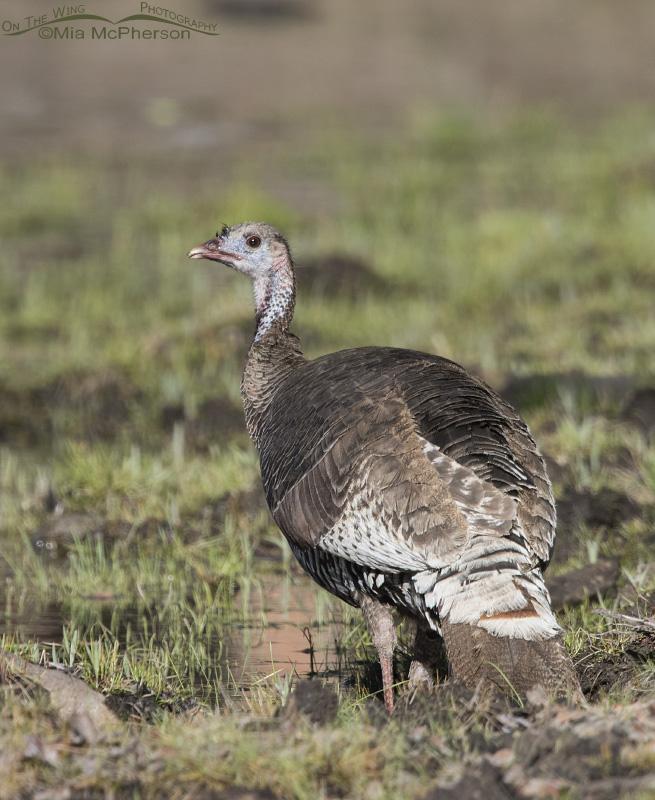 Portrait of a Wild Turkey Hen