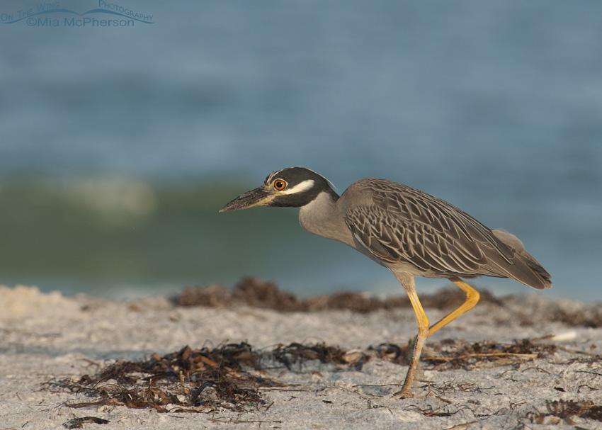 Yellow-crowned Night Heron stalking prey on a beach