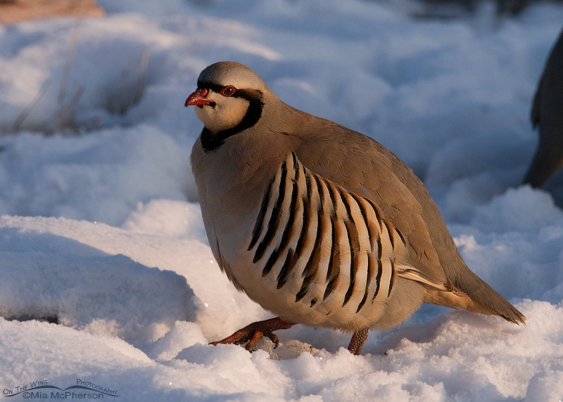 Chukar fluffed up against the cold