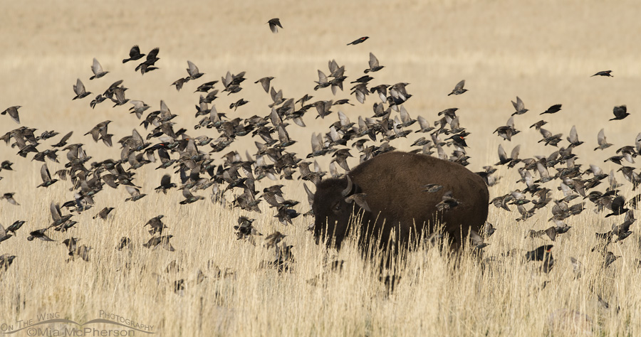 A flock of birds and an American Bison
