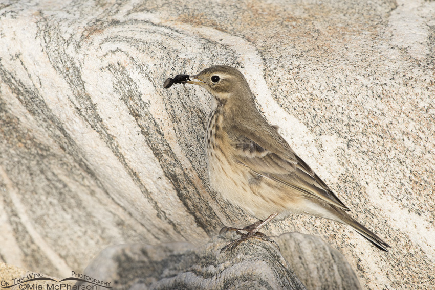 American Pipit and spider composite