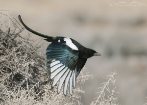 Black-billed Magpie with wings down