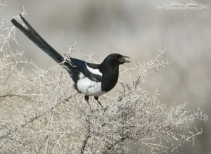 A Black-billed Magpie with a bill full of mud