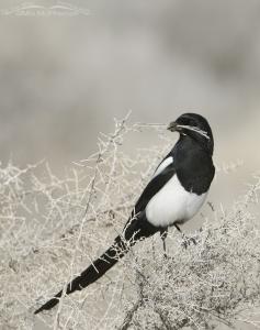 Nest building Black-billed Magpie