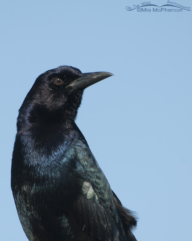 Close up of a male Boat-tailed Grackle