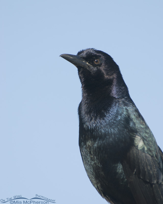 Male Boat-tailed Grackle portrait