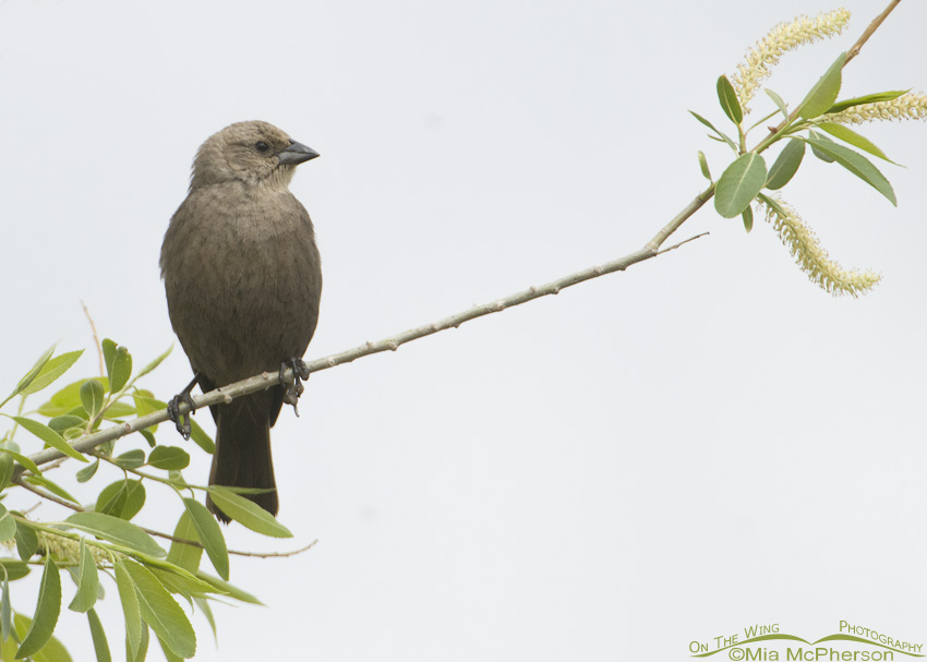 Female Brown-headed Cowbird perched in a willow