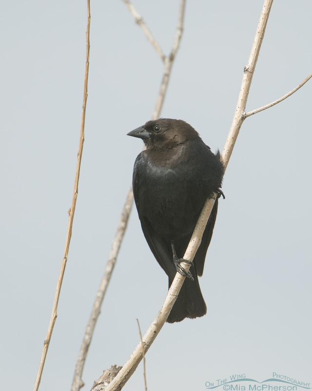 Perched male Brown-headed Cowbird