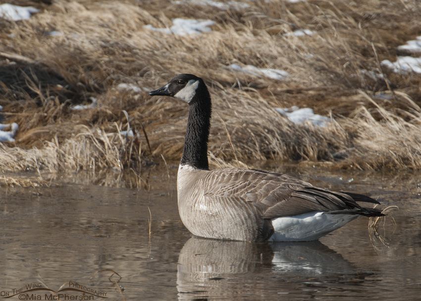 Canada Goose after an April Snow