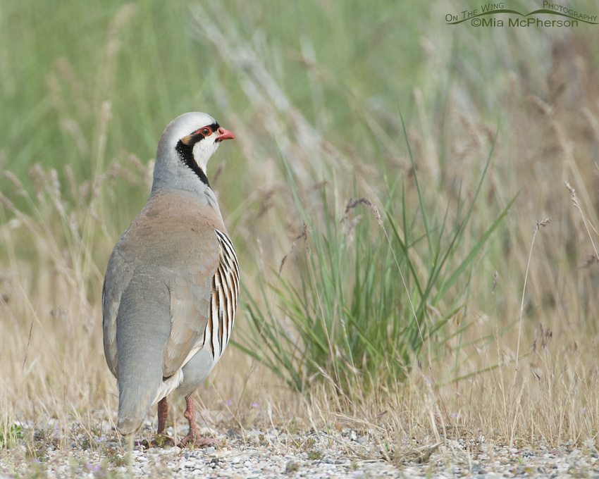One of my first Chukar images