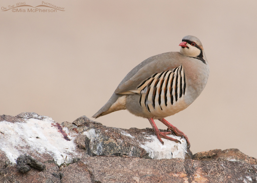 Adult Chukar on a rocky ledge