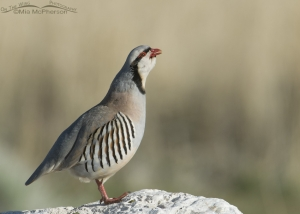 Chukar calling in early morning light