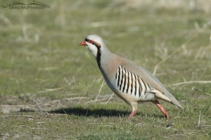 Chukar walking by in early spring