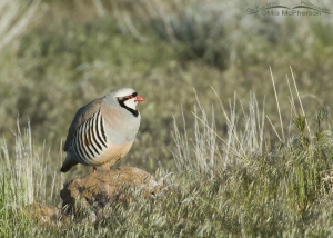 Chukar in a grassy setting